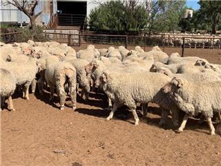 130 Woolgrower Wether Lambs