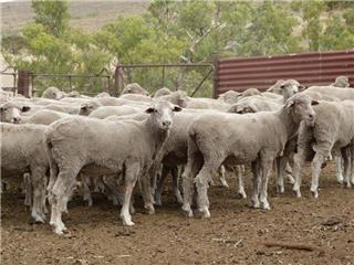 240 Future Breeder Ewe Lambs