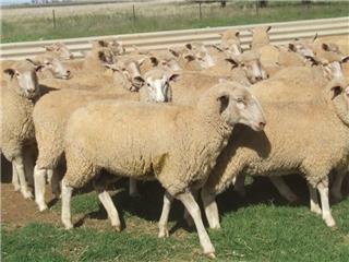 248 Ewe Lambs