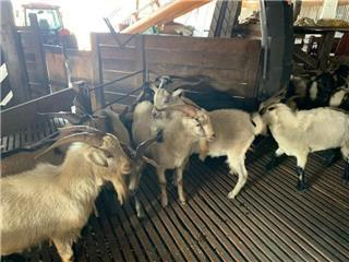 35 Goats - Bucks