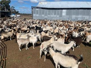 531 Goats - Does