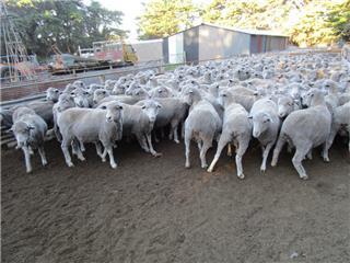 442 SIL Ewes