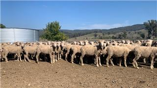 220 Store Wether Lambs
