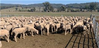 415 Store Wether Lambs