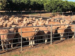 340 SIL Ewes
