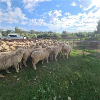 53 SIL Ewes