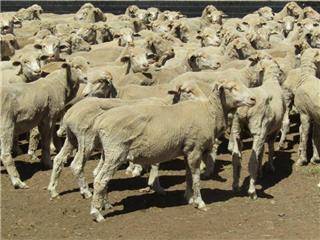 800 Woolgrower Wethers