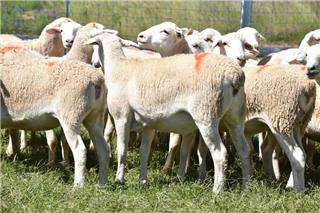 25 Station Mated Ewe Lambs