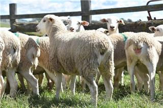35 Station Mated Ewe Lambs