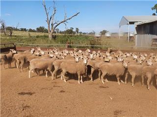 130 SIL Ewes