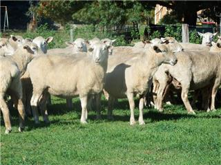109 Station Mated Ewes