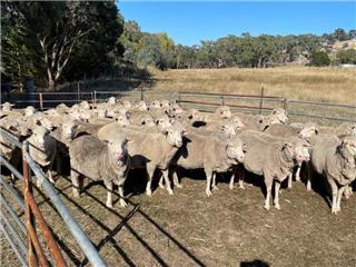 131 SIL Ewes