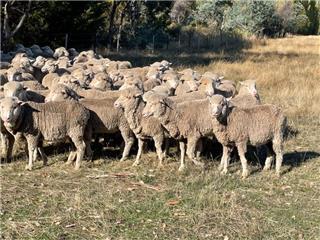 105 NSM Ewes