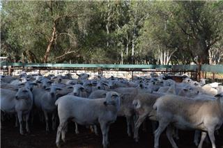 71 Station Mated Ewes