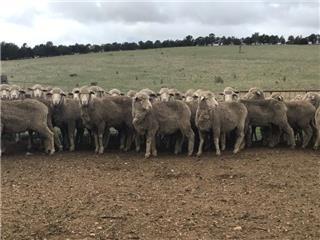 160 SIL Ewes