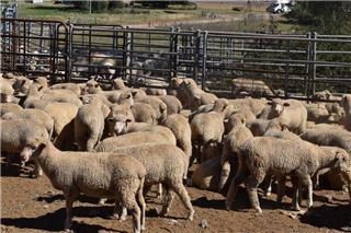 199 Lambs