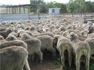 115 Wethers