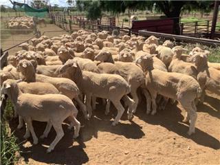 155 Woolgrower Wether Lambs