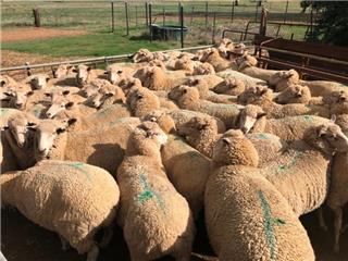 49 SIL Ewes
