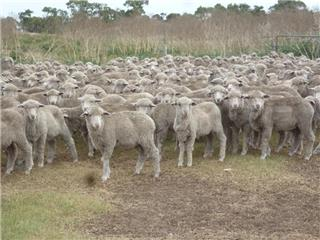 550 Wether Lambs
