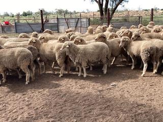 100 SIL Ewes