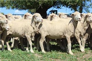 440 SIL Ewes