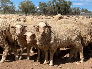 1100 Wethers