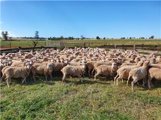 225 SIL Ewes