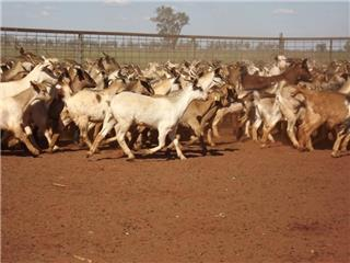 620 Goats - Does