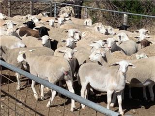 70 Ewe Lambs