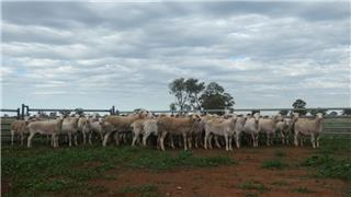 51 Station Mated Ewes