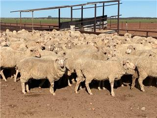 470 Station Mated Ewes