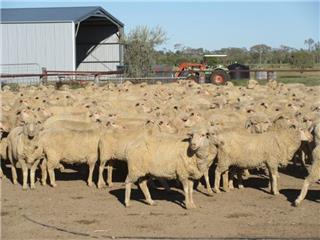 535 Ewes
