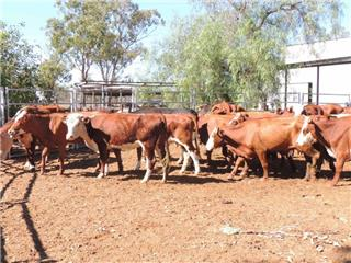 29 Station Mated Cows & 20 Calves