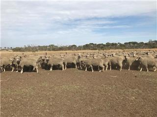 193 Station Mated Ewes