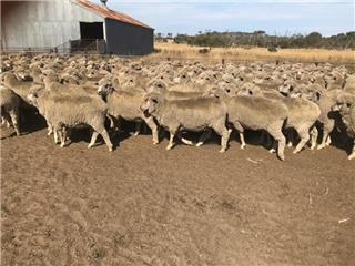 187 Station Mated Ewes