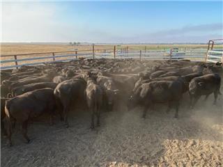 97 Weaned Steers