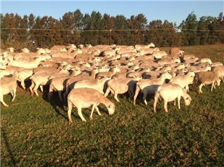 100 Station Mated Ewes
