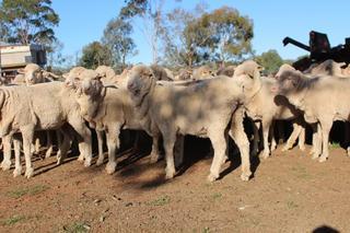 86 SIL Ewes