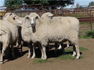 110 Station Mated Ewes