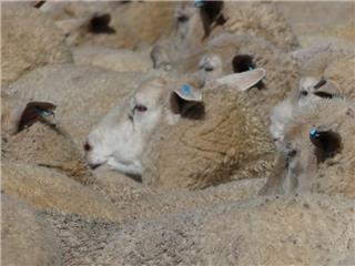 200 Station Mated Ewes