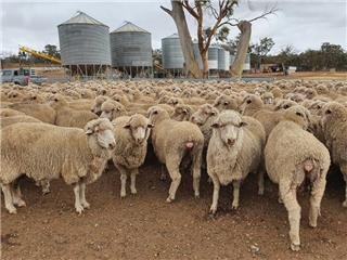 690 SIL Ewes