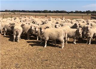 114 Ewes