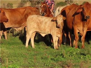 27 Station Mated Cows & 27 Calves