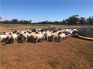 231 SIL Ewes