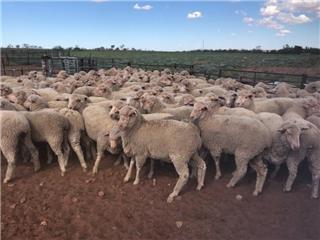 460 NSM Ewe Lambs