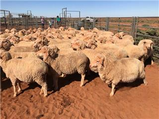 370 Station Mated Ewes