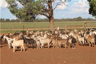 180 Goats - Does