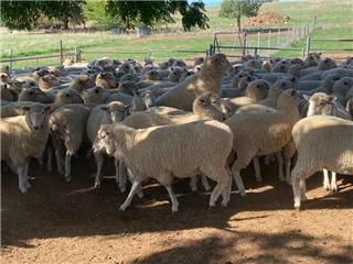 139 SIL Ewes