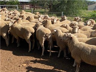 71 Scanned Empty Ewes